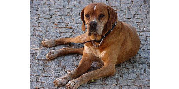 chien-arret-portugais-Braque-Portugais-couche