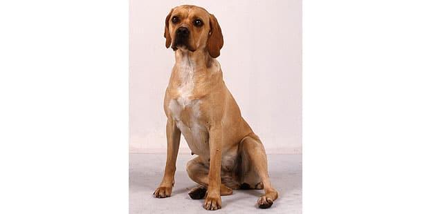 chien-arret-portugais-Braque-Portugais-studio