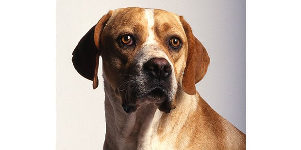 chien-arret-portugais-Braque-Portugais-portrait