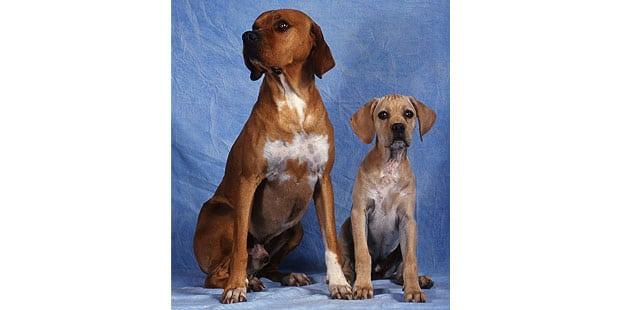 chien-arret-portugais-Braque-Portugais-chienne
