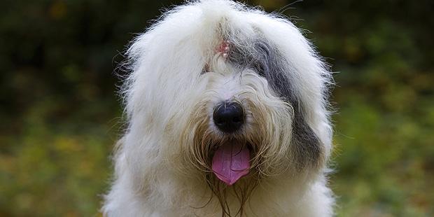 chien-berger-anglais-ancestral-bobtail-portrait