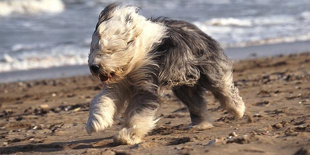 chien-berger-anglais-ancestral-bobtail-plage