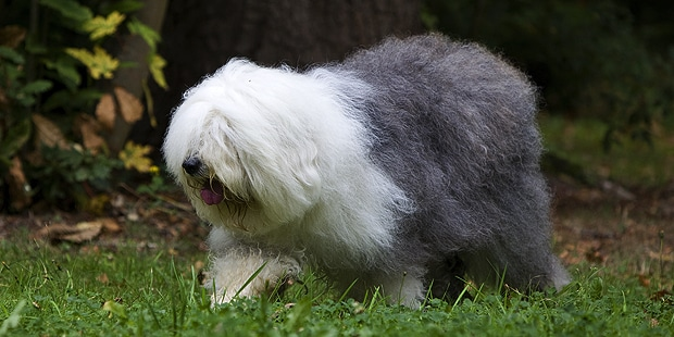 chien-berger-anglais-ancestral-bobtail-foret