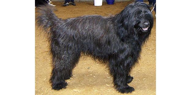 chien-berger-catalan-Perro-Pastor-Catalan-profil