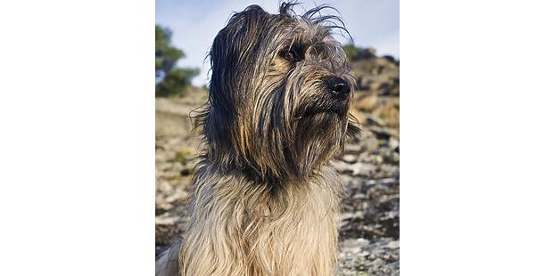 chien-berger-catalan-Perro-Pastor-Catalan-exterieur