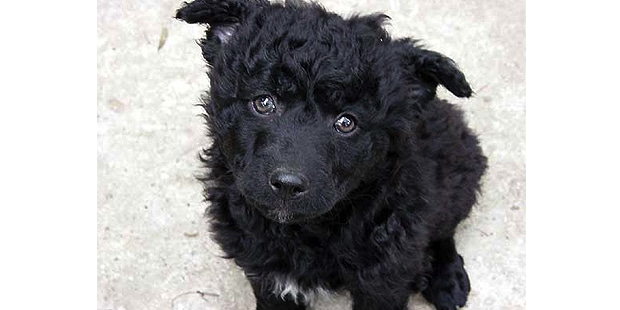chien-berger-croate-Hrvatski-Ovcar-chiot
