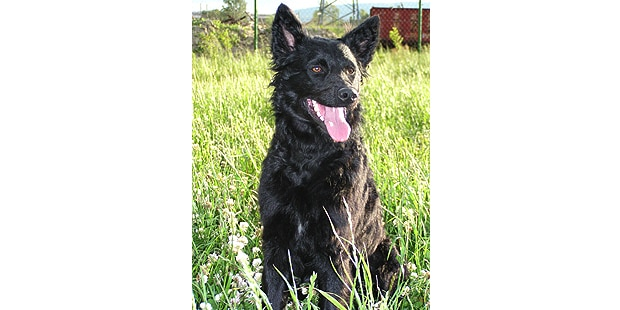 chien-berger-croate-Hrvatski-Ovcar-assis