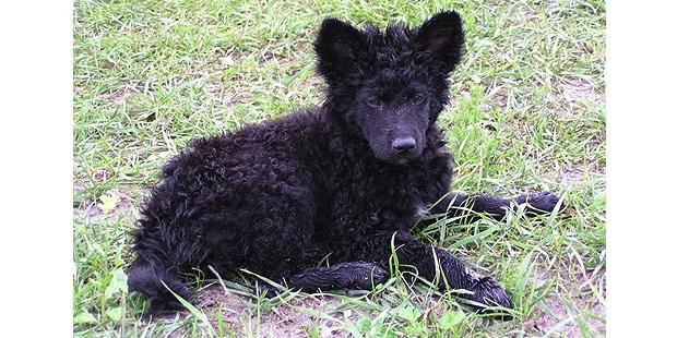 chien-berger-croate-Hrvatski-Ovcar-couche