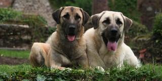 chien-berger-anatolie-kangal-couple