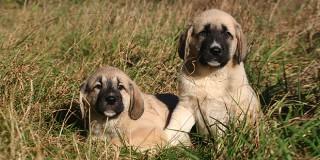 chien-berger-anatolie-kangal-chiots
