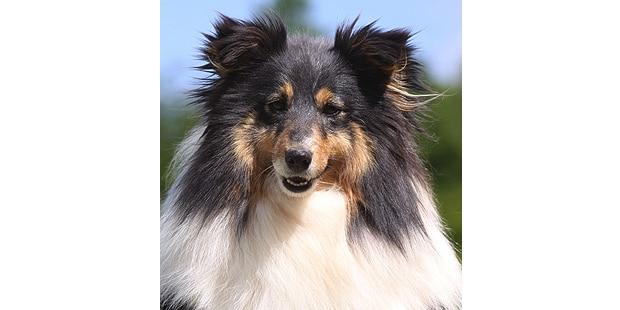 chien-berger-des-shetland-Sheltie-tete
