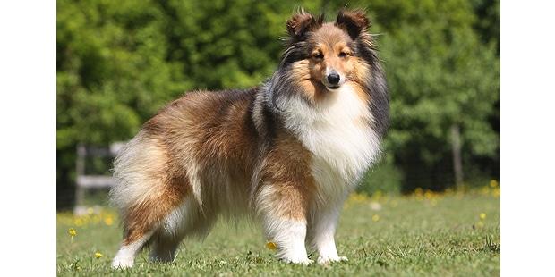 chien-berger-des-shetland-Sheltie-exterieur