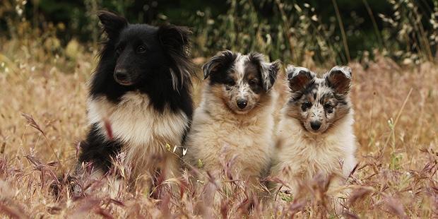 chien-berger-des-shetland-Sheltie-chiots