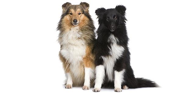 chien-berger-des-shetland-Sheltie-couple