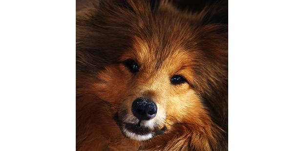 chien-berger-des-shetland-Sheltie-portrait