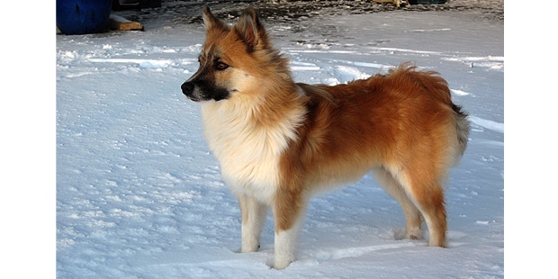 chien-berger-islandais-Islandsk-Farehund-neige