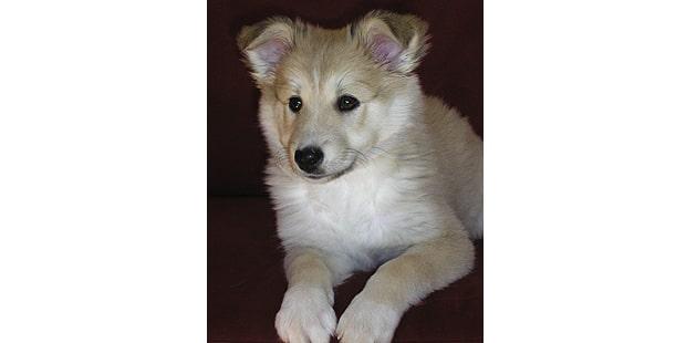 chien-berger-islandais-Islandsk-Farehund-chiot