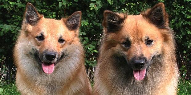 chien-berger-islandais-Islandsk-Farehund-portrait