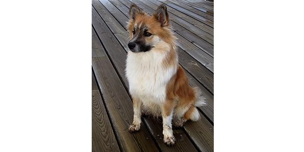 chien-berger-islandais-Islandsk-Farehund-assis