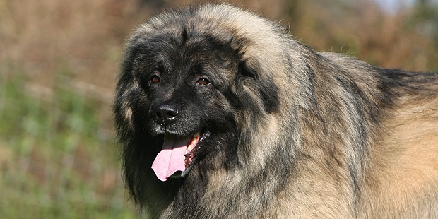 chien-berger-yougoslave-charplanina-sarplaninac-portrait