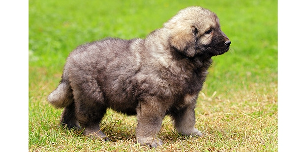 chien-berger-yougoslave-charplanina-sarplaninac-chiot