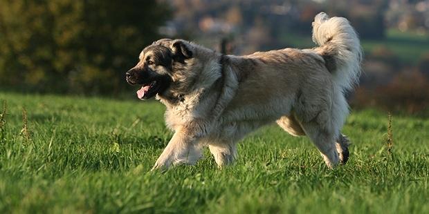 chien-berger-yougoslave-charplanina-sarplaninac-courir