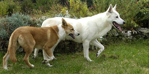chien-de-canaan-dog-exterieur