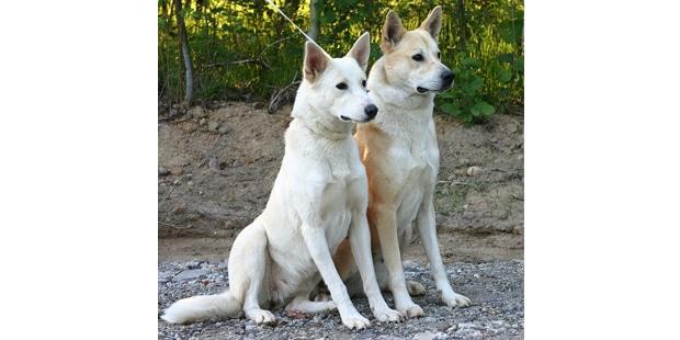 chien-de-canaan-dog-couple