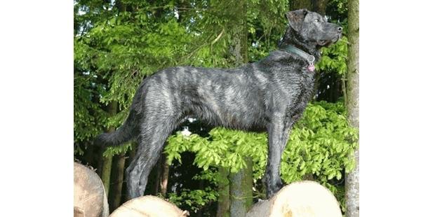chien-castro-laboreiro-bouvier-portugais-foret