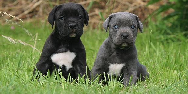 chien-cours-italien-cane-corso-chiots