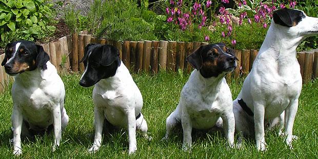 chien-de-ferme-dano-suedois-jardin