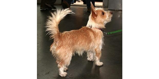 chien-garenne-portugais-podenco-portugais-profil