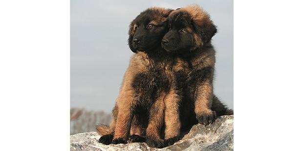 chien-de-la-serra-estrela-couple