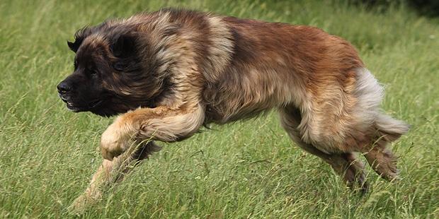 chien-de-leonberg-leonberger-courir
