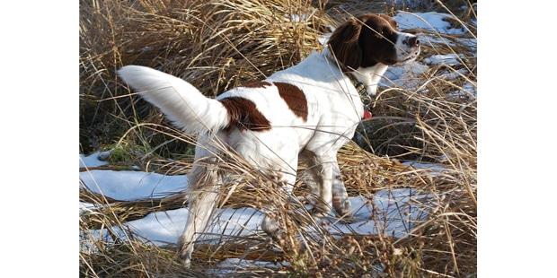 chien-de-perdrix-de-drente-neige