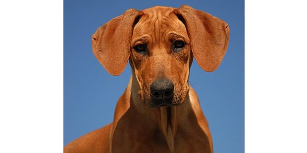 chien-rhodesie-crete-dorsale-rhodesian-ridgeback-portrait