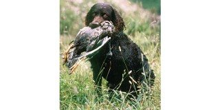 chien-eau-americain-epagneul-spaniel-chasse