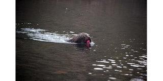 chien-eau-espagnol-perro-agua-nage