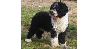 chien-eau-espagnol-perro-agua-profil