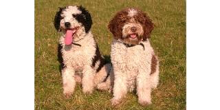 chien-eau-espagnol-perro-agua-couple