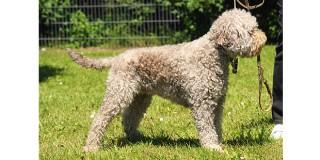chien-eau-romagnol-Lagotto-Romagnolo-profil