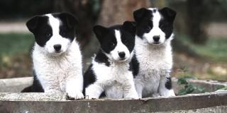 chien-ours-de-carelie-Karjalankarhukoira-chiots