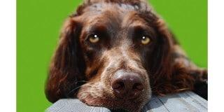chien-oysel-allemand-Deutscher-Wachtelhund-portrait