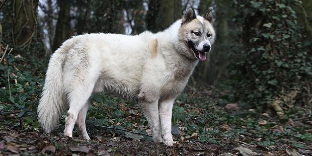 chien-du-groenland-inuit-dog-foret