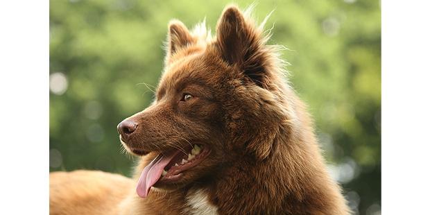 chien-finnois-laponie-Finsk-Lapphund-nature