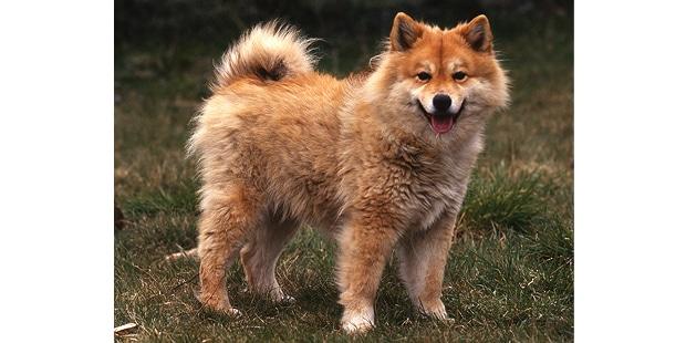 chien-finnois-laponie-Finsk-Lapphund-exterieur