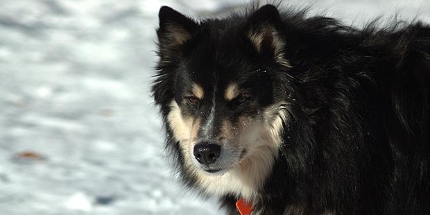chien-finnois-laponie-Finsk-Lapphund-portrait