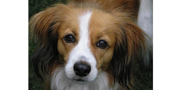 chien-hollandais-de-canardiere-Kooikerhondje-face