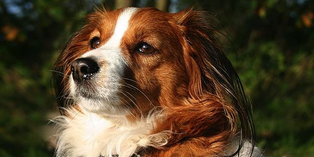 chien-hollandais-de-canardiere-Kooikerhondje-portrait