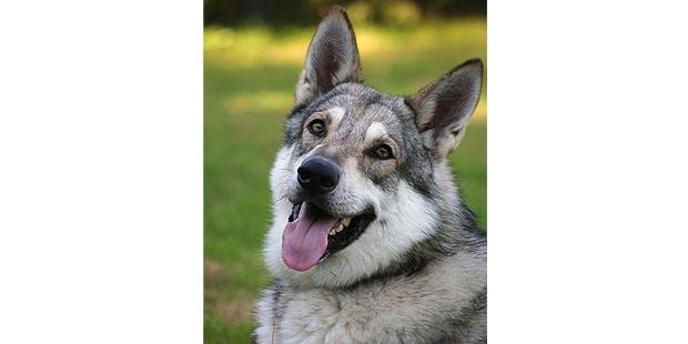 chien-loup-saarloos-Saarloos-Wolfhond-exterieur